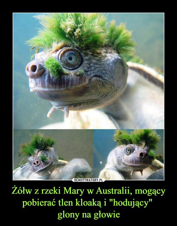 """Żółw z rzeki Mary w Australii, mogący pobierać tlen kloaką i """"hodujący"""" glony na głowie –"""