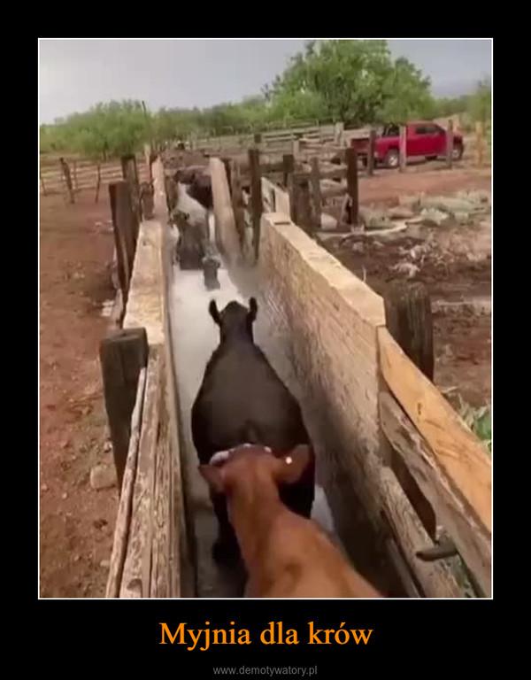 Myjnia dla krów –