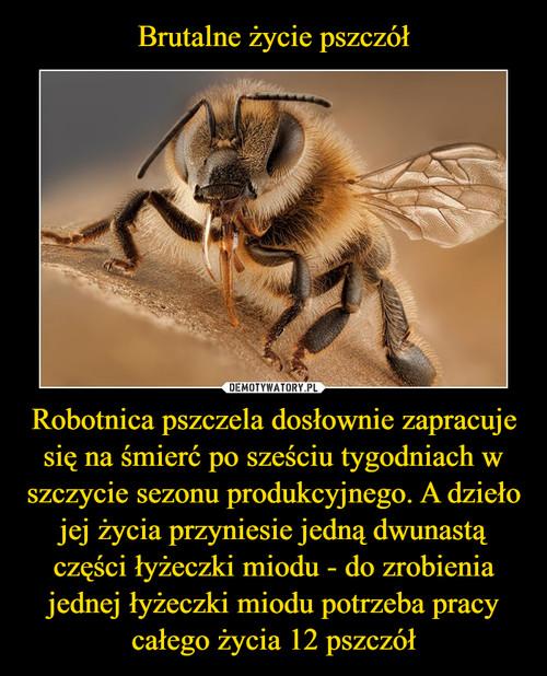 Brutalne życie pszczół Robotnica pszczela dosłownie zapracuje się na śmierć po sześciu tygodniach w szczycie sezonu produkcyjnego. A dzieło jej życia przyniesie jedną dwunastą części łyżeczki miodu - do zrobienia jednej łyżeczki miodu potrzeba pracy całego życia 12 pszczół