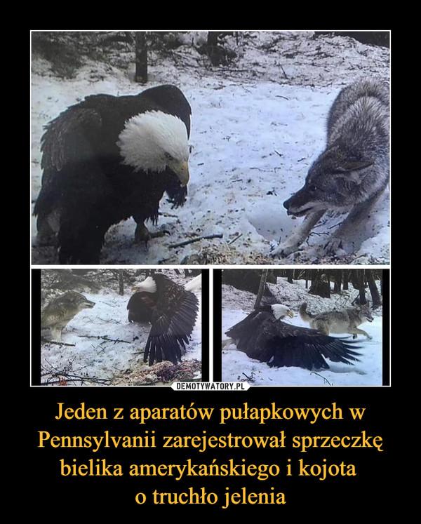 Jeden z aparatów pułapkowych w Pennsylvanii zarejestrował sprzeczkę bielika amerykańskiego i kojota o truchło jelenia –