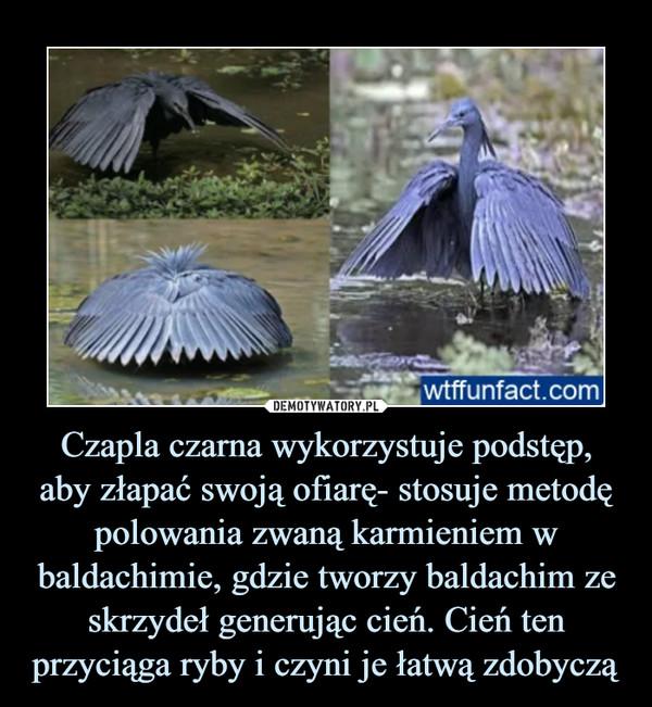 Czapla czarna wykorzystuje podstęp,aby złapać swoją ofiarę- stosuje metodę polowania zwaną karmieniem w baldachimie, gdzie tworzy baldachim ze skrzydeł generując cień. Cień ten przyciąga ryby i czyni je łatwą zdobyczą –