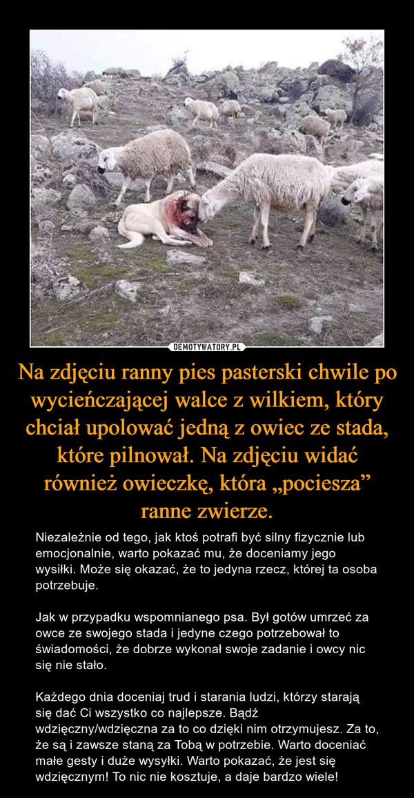 """Na zdjęciu ranny pies pasterski chwile po wycieńczającej walce z wilkiem, który chciał upolować jedną z owiec ze stada, które pilnował. Na zdjęciu widać również owieczkę, która """"pociesza"""" ranne zwierze. – Niezależnie od tego, jak ktoś potrafi być silny fizycznie lub emocjonalnie, warto pokazać mu, że doceniamy jego wysiłki. Może się okazać, że to jedyna rzecz, której ta osoba potrzebuje.Jak w przypadku wspomnianego psa. Był gotów umrzeć za owce ze swojego stada i jedyne czego potrzebował to świadomości, że dobrze wykonał swoje zadanie i owcy nic się nie stało.Każdego dnia doceniaj trud i starania ludzi, którzy starają się dać Ci wszystko co najlepsze. Bądź wdzięczny/wdzięczna za to co dzięki nim otrzymujesz. Za to, że są i zawsze staną za Tobą w potrzebie. Warto doceniać małe gesty i duże wysyłki. Warto pokazać, że jest się wdzięcznym! To nic nie kosztuje, a daje bardzo wiele!"""