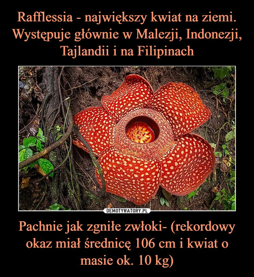 Rafflessia - największy kwiat na ziemi. Występuje głównie w Malezji, Indonezji, Tajlandii i na Filipinach Pachnie jak zgniłe zwłoki- (rekordowy okaz miał średnicę 106 cm i kwiat o masie ok. 10 kg)