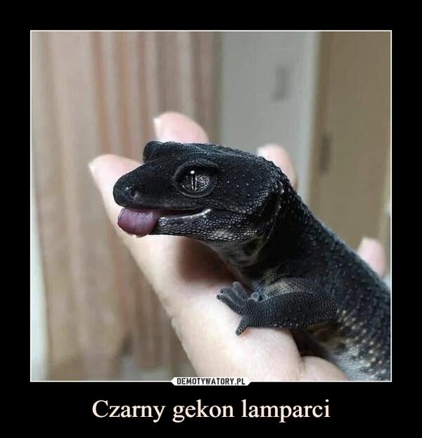 Czarny gekon lamparci –